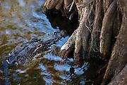 Alligator drifting by mangrove roots, Everglades, Florida, USA