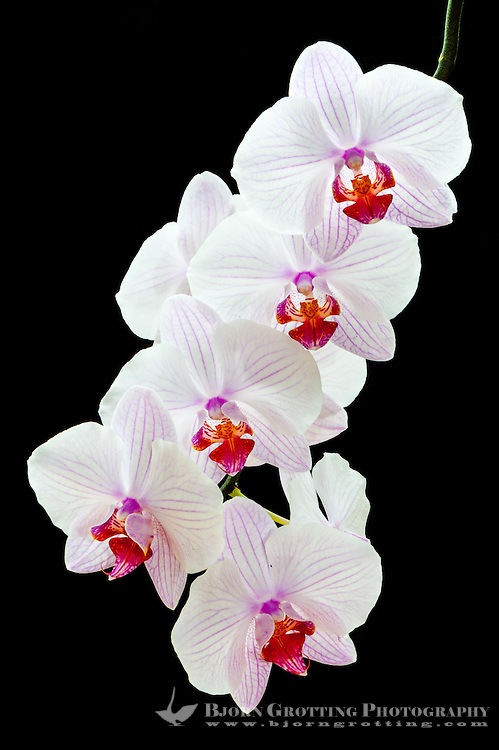 Phalaenopsis, also known as the Moth Orchid.