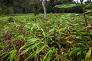 Invasive kahili ginger (Hedychium gardnerianum) fills a manmade clearing in Kokee State Park, Kauai, Hawaii.