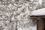 Hoar frost on pine needles, Yellowstone National Park