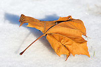 Lone Maple Leaf on Snow. Winter 2009 in New Jersey. Image taken with a Nikon D3x and 80-400 mm VR lens (ISO 450, 400 mm, f/8, 1/1000 sec).