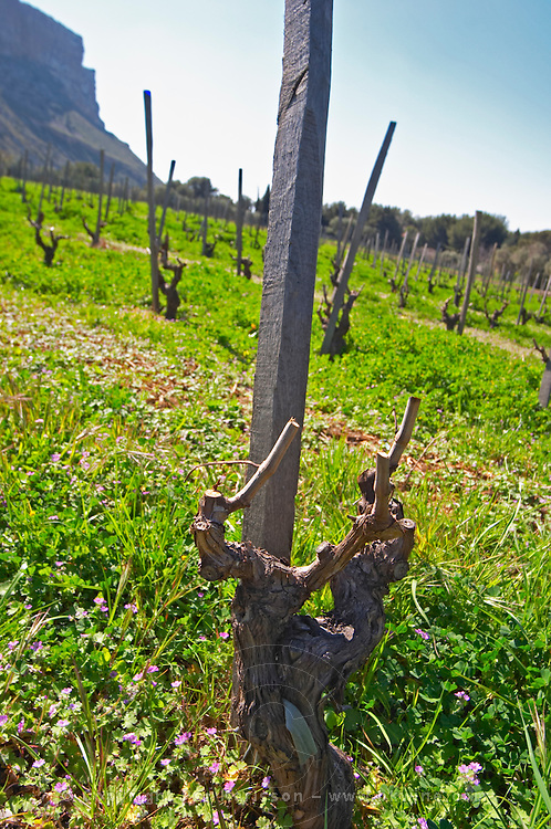 The vineyard below the Cassis cliff in spring, vines winter pruned in Gobelet training, Marsanne grape variety Cassis Cote d'Azur Bouches du Rhone France