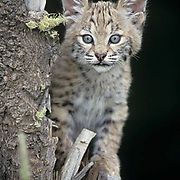 Bobcat (Lynx rufus).  A young kitten in Montana.  Captive Animal.