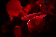 Blooming red flower on dark background