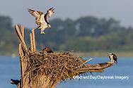 00783-02202 Osprey (Pandion haliaetus) landing at nest Rend Lake Jefferson Co. IL