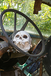 beautiful lavender field in full bloom human skull tied to a steering wheel in an abandoned old truck