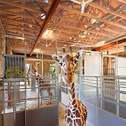 Giraffe Exhibit & Barn Photographed for Nacht & Lewis Architects, Otto Construction, & the Sacramento Zoo. Civic Architecture Examples of Chip Allen Photography.