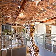 Nacht & Lewis- Giraffe Project Sac Zoo