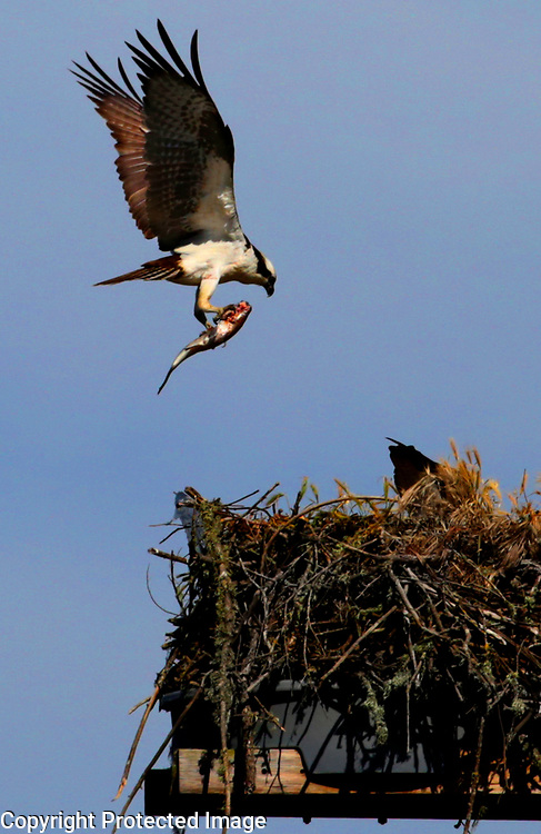 A male osprey brings a partially eaten fish to his  mate tending their chicks in a nest in Harkins Slough in Watsonville, California.<br /> Photo by Shmuel Thaler <br /> shmuel_thaler@yahoo.com www.shmuelthaler.com