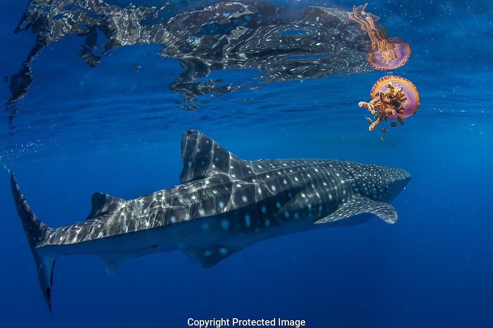 Whale shark (Rhincodon typus) swimming past a jellyfish (Thysanostoma loriferum), Honda Bay, Palawan, the Philippines.