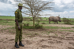 March 20, 2018 - Nanyuki, Kenya - Caretaker watching a white rhino passing by to graze fields with fresh grass...With the death of Sudan, there are only two remaining northern white rhino alive. Called Najin and Fatu, they spend their lives living in protected area of Ol Pejeta Conservancy, where the 'Caretakers' sort of armed nature rangers are protecting them. (Credit Image: © Jan Husar/SOPA Images via ZUMA Wire)