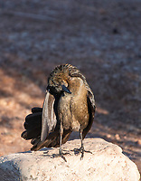 A female Great-tailed Grackle, Quiscalus mexicanus, preens its feathers in Papago Park, part of the Phoenix Mountains Preserve near Phoenix, Arizona