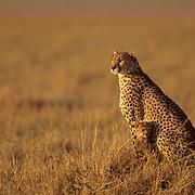 Cheetah, (Acinonyx jubatus) Portrait of mother and cubs. Masai Mara Game Reserve. Kenya. Africa.
