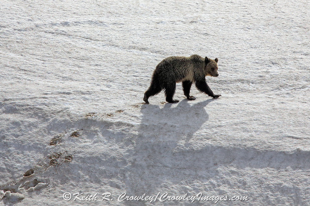 Sub-adult Grizzly bear walking in snow.