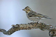 Cassin's Finch - Carpodacus cassinii - Adult female