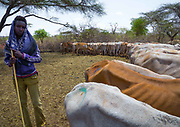 DROUGHT IN ETHIOPIA<br /> <br /> The Borana tribe, part of Oromo people who make up around a third of the Ethiopian population, is suffering from drought for months. Cows are dying, meanwhile many people are complaining the lack of support from the government, thus generating massive uprisings, repressions and killing hundreds of protesters.<br />  Borana live in Kenya, Ethiopia and Somalia with a population of 500,000. They are semi pastoralists. Their life depends on their livestock, which are their only wealth. Their cattle are used in sacrifices and also as dowry or to pay legal fines. For one year, there has been no rain and more than 15,000 cows have died in Ethiopia.<br /> <br /> Photo shows: This Borana shepherd says he lost 100 cows over the last weeks. He does not want to mention how many are still alive: in the Borana tradition, a man never talks about how many cows he owns, as it may give ideas to robbers... Later he confesses he only has 50 cows left.<br /> ©Eric lafforgue/Exclusivepix Media