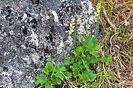 Fringecup (Tellima grandiflora) flowering on the rocky, pine forest floor in Ellison Provincial Park, Vernon, British Columbia