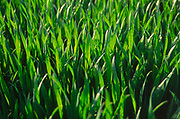 AF5CP4 Young shoots of arable crop in a field Suffolk England