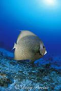 gray angelfish, Pomacanthus arcuatus, Biscayne National Park,  Florida ( Western Atlantic Ocean )