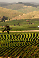 Grape vines in the Barossa Valley in Australia.  photograph by Dennis Brack.
