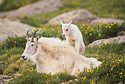 Mountain goat nanny with kid during summer in Colorado