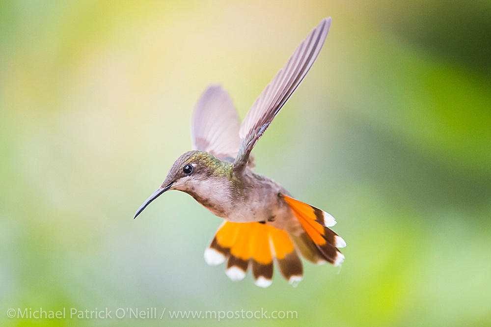 Female Ruby Topaz Hummingbird, Chrysolampis mosquitus, in flight in Trinidad. This species is one of 13 found in the island.