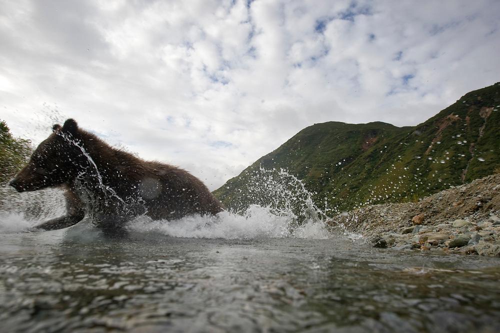USA, Alaska, Katmai National Park, Kinak Bay, Brown Bear (Ursus arctos) leaps into small stream while fishing for spawning salmon