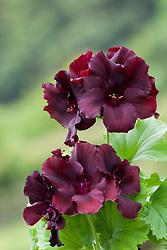 Pelargonium 'Dark Secrets'