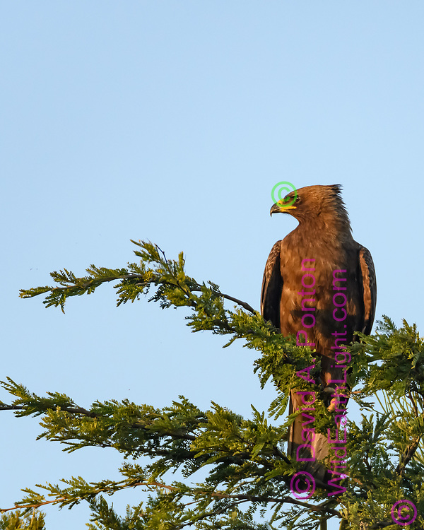 Wahlberg's eagle perched in tree, looking to one side, Phinda Game Reserve, South Africa, © David A. Ponton