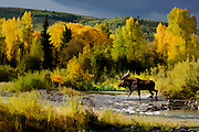 Large bull moose crossing the small steam during the fall rut in Grand Teton National Park. The watercolor style image captures the landscape in peak colors.