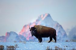 Alpenglow, Bison, Grand Tetons, Jackson Hole, Wyoming
