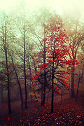 Small maple tree on a fall day with falling leaves - photograph processed with texture overlays