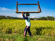 20 JULY 2016 - TAMPAKSIRING, GIANYAR, BALI:  A woman carries the wood table she uses to thrash rice into a paddy during the harvest in Tampaksiring, Bali. Rice is an important part of the Balinese culture. The rituals of the cycle of planting, maintaining, irrigating, and harvesting rice enrich the cultural life of Bali beyond a single staple can ever hope to do. Despite the importance of rice, Bali does not produce enough rice for its own needs and imports rice from nearby countries. Because of its dependable growing weather and number of micro-climates, rice cultivation is a year round activity in Bali. Some farmers can be harvesting rice, while farmers just a few kilometers away can be planting rice. Most rice in Bali is still harvested by hand.     PHOTO BY JACK KURTZ