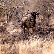 Krugerparken 2002 07 Syd Afrika<br /> Gnu Wilder beast<br /> <br /> <br /> FOTO JOACHIM NYWALL KOD0708840825<br /> COPYRIGHT JOACHIMNYWALL:SE<br /> <br /> ****BETALBILD****<br />  <br /> Redovisas till: Joachim Nywall<br /> Strandgatan 30<br /> 461 31 Trollhättan<br />  Prislista: BLF, om ej annat avtalats