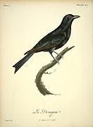 Drongear from the Book Histoire naturelle des oiseaux d'Afrique [Natural History of birds of Africa] Volume 4, by Le Vaillant, Francois, 1753-1824; Publish in Paris by Chez J.J. Fuchs, libraire 1805