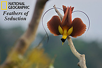 Red Bird-of-Paradise (Paradisaea rubra) male performing practice display at tree-top lek.<br />
