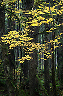 Vine Maple (Acer circinatum) fall foliage colors in the temperate rainforest at Rolley Lake Provincial Park in Mission, British Columbia, Canada.