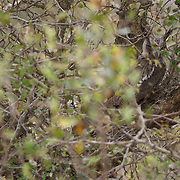 Southern White-faced Scops-Owl, Malamala Game Reserve, South Africa.
