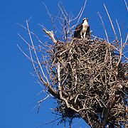 Nesting osprey on Chokoloskee Bay in Everglades National Park, FL.