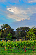 Vineyard scene<br /> <br /> Larger JPEG + TIFF images available by contacting use through our contact page at :..www.photography4business.com