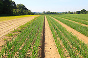 Green lines of onion crop growing in sandy soil, Sutton, Suffolk, England, UK