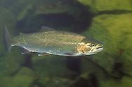Steelhead Trout, Salmon River, ID<br /> <br /> Roger Peterson/ENGBRETSON UNDERWATER PHOTO