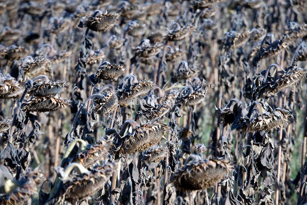 ripe sunflower heads in the field