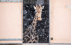 © Licensed to London News Pictures. 09/02/2021. London, UK. A Giraffe enjoys the snow as it looks out of its stables at London Zoo in Camden as Storm Darcy hits London and the South East with yet more snow and freezing temperatures today. The Met Office have issue numerous weather warnings for heavy snow and ice with disruption to travel, power cuts and possible stranded vehicles as the bad weather continues throughout the country.  Photo credit: Alex Lentati/LNP