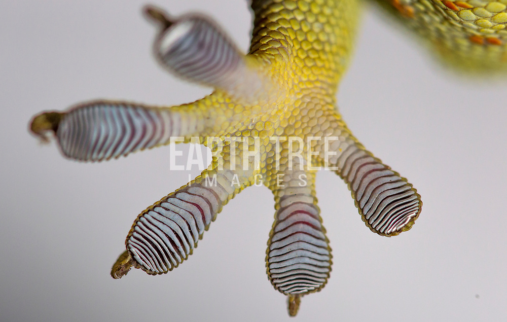 The underside of a tokay gecko foot, (Gekko gecko), Tokay geckos are culturally significant in many East Asian countries. Regional folklore has attributed supernatural powers to the gecko. In Southeast Asia it is a symbol of good luck and fertility. It is believed to be descended from dragons. This species is poached for the medicinal trades in parts of Asia. The Tokay gecko is an ingredient in Traditional Chinese medicine known as Ge Jie (蛤蚧). It is believed to nourish the kidneys and lungs, beliefs that are not substantiated by medical science. The animal remains highly sought after in China, Hong Kong, Taiwan, Vietnam, Malaysia, Singapore and other parts of Asia with Chinese communities, to the point where unscrupulous merchants have taken to disfiguring monitor lizards with prosthetics to pass them off as colossal Tokay gecko specimens.Photo: Paul Hilton for Earth Tree