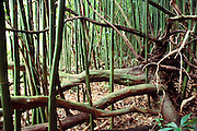 Chinese bamboo overtaking native forest near Hana at Kipahulu. Maui, Hawaii. USA.