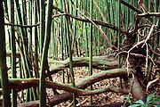 Chinese bamboo overtaking native forest near Hana at Kipahulu. Maui, Hawaii. USA.