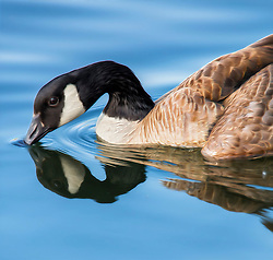 A Graceful Goose Casts Reflections In Vibrant Blue Waters While Dipping to Dabble.