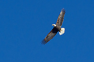 Montgomery, New York - A bald eagle flies over the Wallkill River.