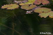 baby Morelet's crocodile, Belize crocodile, or Central American crocodile, Crocodylus moreletii, floating in Cabbage Hole Creek, Stann Creek District, Belize, Central America